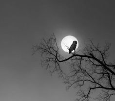 Owl silhouetted in the full moon....