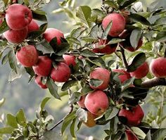How To Grow Organic Apples Without Any Kind of Spray or Pesticide [ Vacupack.com ] #garden #quality #fresh