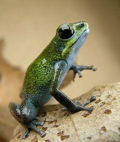 Poison dart frog dart frog, poisons, frogs, poison dart