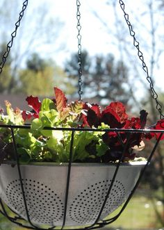 How to Make Easy Lettuce Leaf Hanging Baskets. This could be a lovely hanging garden.