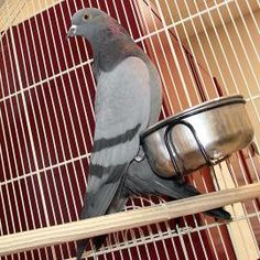Adopt Daphne, a lovely 5 year-old Other Pet available for adoption at Petango.com.  Daphne is a Pigeon / Pigeon and is available at the @LollypopFarm - Petsmart - Henrietta in FAIRPORT, NY pet, doverock pigeon, rock doverock