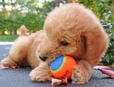puppi ador, labradoodl puppi
