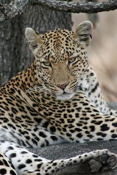 Female Leopard....she's BEAUTIFUL!!  Mala Mala, S. Africa