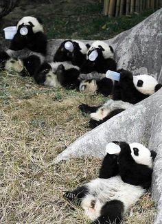 Adorable pandas bottle milk feeding.