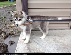 Adorable little Siberian Husky pup Nanook. I iz really wants to play outside with my stick, but unfortshoonately for me iz too mucky! For more cute dogs and puppies