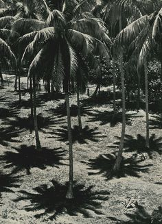 palm, stunning photography, pattern, 1938, shadow, coconut tree, black white, tropical paradise, summer paradise