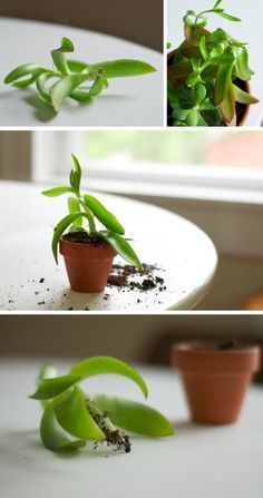 How to: Propagate a Succulent