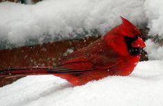 Kentucky State Bird. The beautiful cardinal.