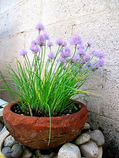 flowering chive plant