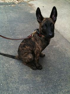 dutch #shepherd pup cutest thing I have ever seen!!!!!