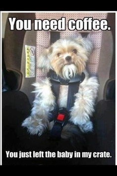 car seats, funny dogs, funny animal pictures, funny pictures, funni, coffee, puppi, kid, baby momma