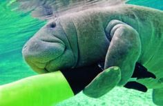 A baby manatee hugging a swimmers arm :)
