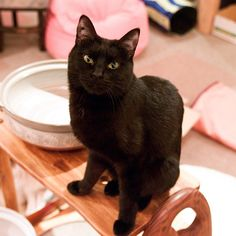 This guy, Coco, lives at the Cat Cafe Cateriam in Japan. What a weird life.