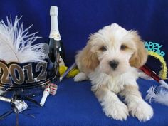 Learn More About the Tibetan Terrier Breed Here......   http://www.caninereview-digital.com/caninereview/201206#pg38