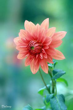Dahlia - the official flower of San Francisco