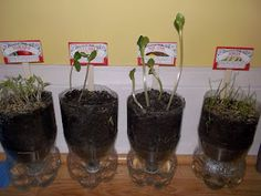 start a self-watering garden indoors.... all you need are empty 2 liters and some seeds!