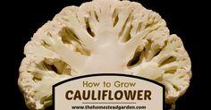 cauliflowerfac