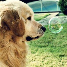 balls, puppies, anim, heart, dogs, golden retrievers, pets, soap bubbles, friend