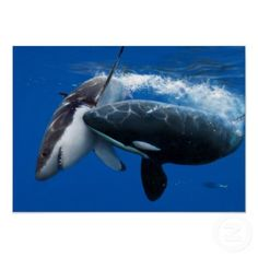 The Orca is attacking the Great White Shark in the open ocean. I couldn't believe it when I first seen this a few years ago on shark week. This is amazing!