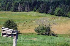 Nanny Kennedy's Farm where she raises sheep for wool and meat. kennedi farm