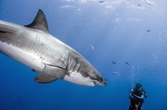 The most incredible great white shark encounter? You be the judge