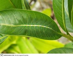 The best camouflage is hiding in plain sight. Though easy to spot if you know what to look for, the common baron caterpillar blends well with the leaf on which it rests.
