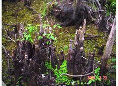 cypress knee, thing tropic