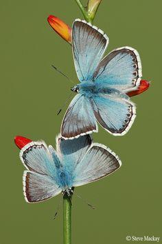 Blues #butterfly #kelebek #fly #papillon #Schmetterling #mariposa #farfalla