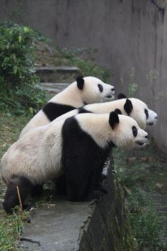 who's that up there? #pandas