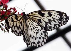paper kite, butterflies, kite butterfli, papers, kites