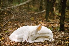 Albino white-tailed deer fawn  sleeping on the forest floor