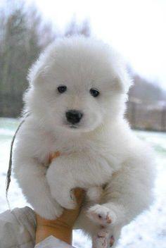 He's like a mini polar bear puppy!! <3