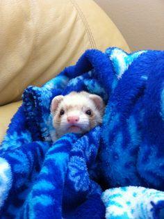 Bundled up ferret! from Tumblr
