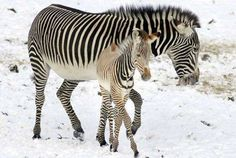 """So mom, am I white with black stripes or black with white stripes??"" The question that I would LOVE to know the answer to cause I have NO clue!!"