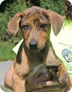 Prattville, AL - Labrador Retriever/Shepherd (Unknown Type) Mix. Meet Asia 21217, a puppy for adoption. http://www.adoptapet.com/pet/11643413-prattville-alabama-labrador-retriever-mix