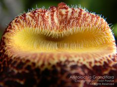 Aristolochia Grandiflora or Pelican Flower, is a species of deciduous vine with large flowers that emit an unpleasant odor to humans, but very attractive to insects.  The plant is native to the Caribbean  They are a magnet for butterflies.
