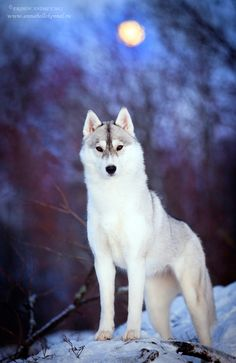 White wolf by ERSHOV_ANDREY