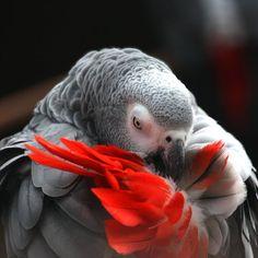 Congo African Grey Parrot.