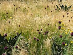 mexican feather grass interplanted with agaves and Allium sphaerocephalon