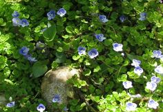 Ground cover on Pinterest