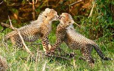 Cheetah cub love, too cute #salascamp #sensationalsalas