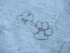 Labrador prints frozen in the snow.