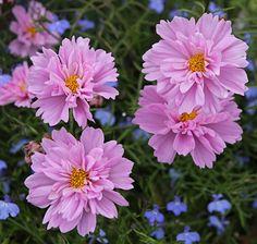 flower border, garden inspo, prom dress, cut flowers, annual flower