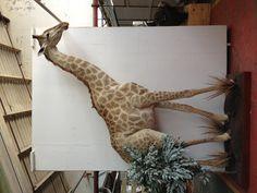Giraffe full mount. A tall story.
