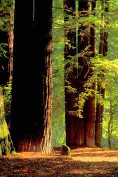 California - Coastal Giants - Mendocino Co.