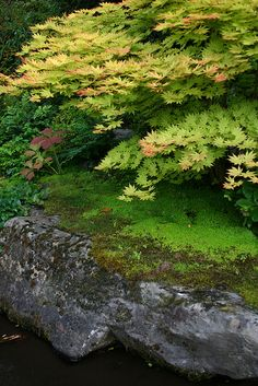 Japanese Maples and Moss