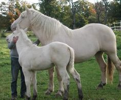 American Cream Draft Horse mare and foal