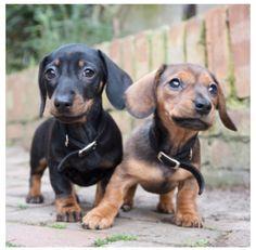 dachshund, puppi