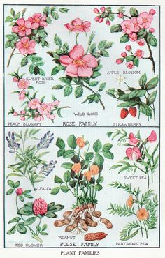 Rose and Pulse Family, plant illustrations,1917.
