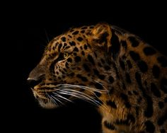 Amur Leopard #leopard #endangered #animals An Amur Leopard looks onward for a perfect portrait. Taken at the Erie Zoo, Pennsylvania. -- Your Shot. NATIONAL GEOGRAPHIC.